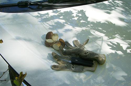 Белые грибы, нож и перчатки на капоте