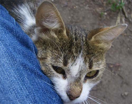 Кошка Носярка (нос темный) прижалась к моей ноге
