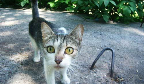 Кошка, которую моя дочка назвала Носярка за темный нос