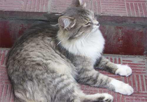 Серый кот отдыхает у магазина Гулливер
