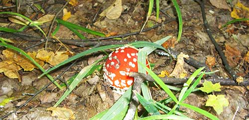 Весёлый гриб мухомор